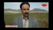 افزایش 2 برابری برداشت نخود در زمین دیم - استان لرستان