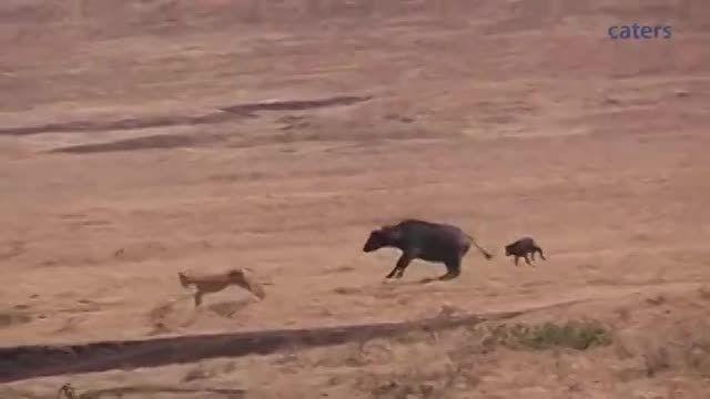 نجات از چنگال شیرها