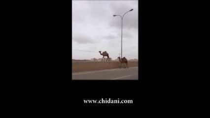 راه رفتن شتر روی گاردریل