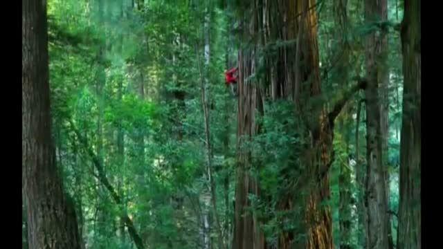 ارتفاع بلندترین درخت جهان چقدر است؟