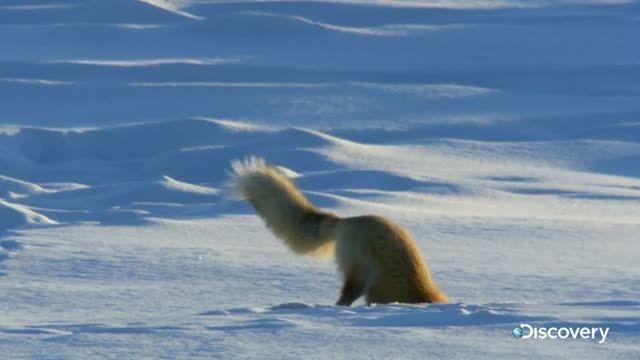 آیا می دانید چرا فایرفاکس شکل روباه را انتخاب کرده؟