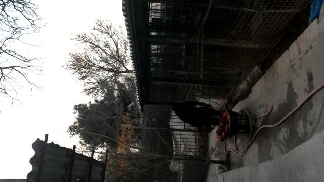 دزدین غذای ببر توسط تایگون(پدر ببر ، مادر شیر).93/11/10