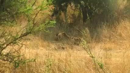 کشته شدن دردناک شیر نر جوان توسط سه شیر نر بالغ