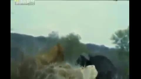 خشم بوفالوها شیر رو زمینگیر کرد.