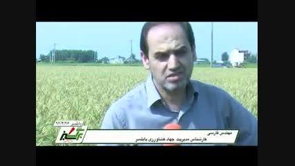 تولید برنج ارگانیک  در مازندران(organickhanegi.ir)