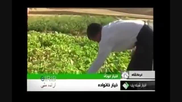 خیار 35 کیلویی در کرمانشاه...