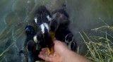 جوجه اردکهای گرسنه