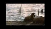 شکار نهنگ قاتل