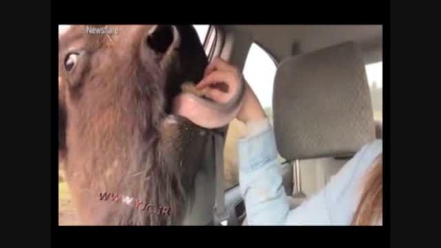 بوفالوهای گرسنه باغ وحش واشنگتن به دنبال خودرو