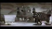 ویدیو جالب از حیوانات که در مقابل شکارچیان تسلیم نمی شوند