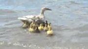 آموزش شنا به جوجه اردک ها
