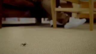 عنکبوتی که انسان را از پای دراورد