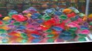ماهی های رنگارنگ و زیبا