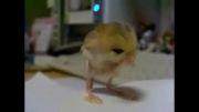 حاصل ازدواج گنجشک و موش!