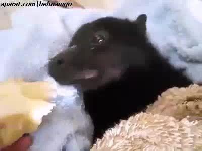 بچه خفاش موز میخوره :)))