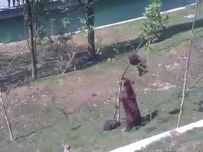 تلاش خرس برای پایین آوردن بچش از بالای درخت