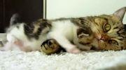بچه گربه ناز در کنار مادرش