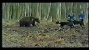 حمله سگها به خرس قهوه ای دربند