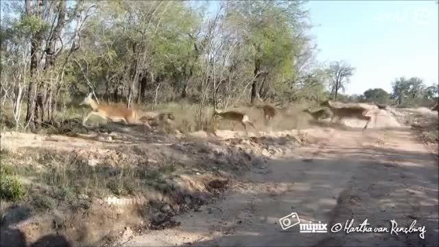 شکار زیبای ایمپالا توسط چیتا با حرکت خارق العاده چیتا