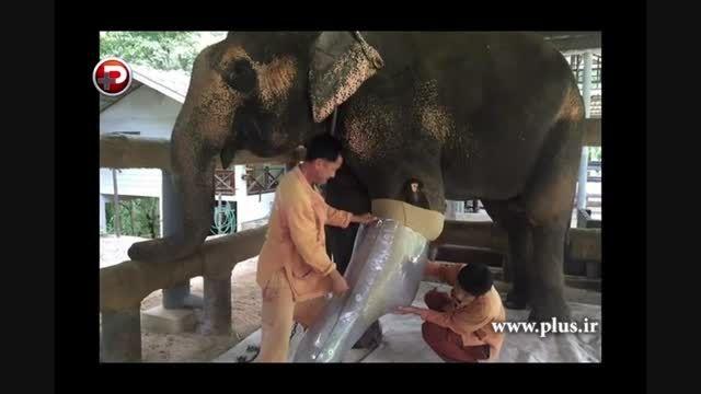ساخت پای مصنوعی برای فیل معلول