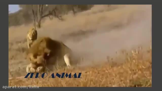 ☺ کشتن چیتاها توسط شیر نر ☺