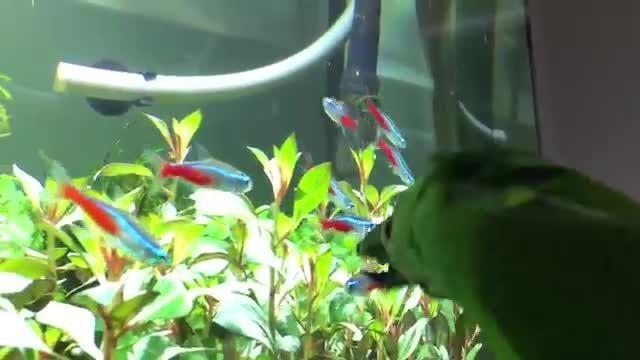 طوطی که قصد خوردن ماهیهای آکواریوم را دارد