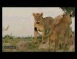 گاو میش و شیر دوئلی مرگ بار