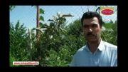 مقایسه دو نهال یکساله خرمالو - استان گیلان