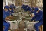 چای چینی آلوده به آفت
