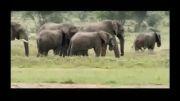 تاجران عاج و کشتار بی رحمانه فیل ها