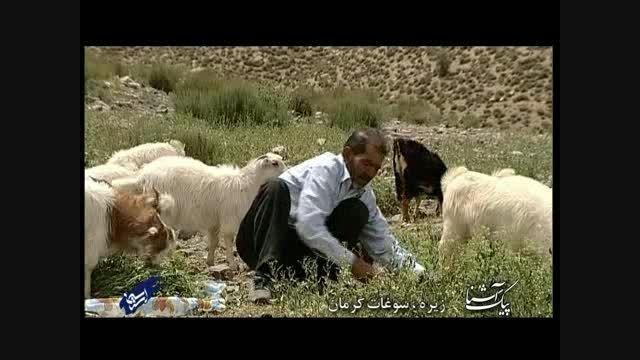 پیک آشنا ( زیره، سوغات کرمان)