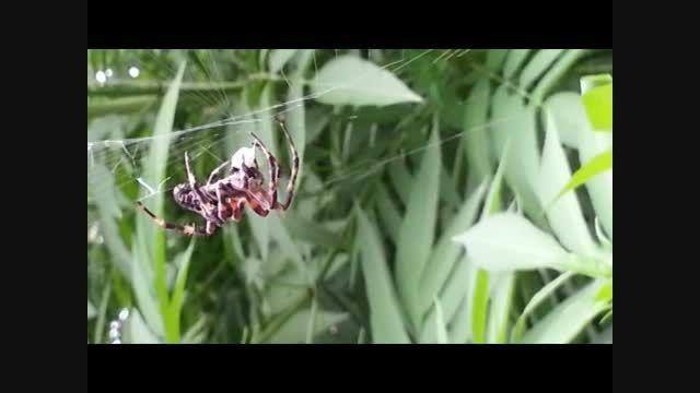 عنکبوت بزرگ در جنگل های گلستان