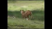 عضلات زیبای شیر ماده در هنگام دویدن...!!
