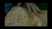استفاده از طب سوزنی برای درمان یک تمساح بیمار