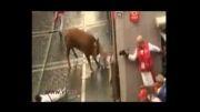 شاخ های گاو عصبانی گاو باز را به اتاق عمل فرستاد!...