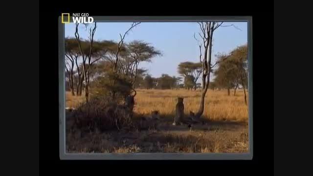 باورنکردنی: مبارزه شیرها و یوزپلنگ و کشتن یوزپلنگ