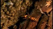 سیستم دفاعی جالب زنبورها برای مقابله با دشمن