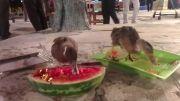 هندوانه خوردن اردک های برنامه شب های روشن