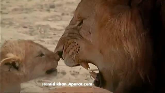 اولین برخورد شیر نر با فرزندانش و هوشیاری شیر ماده