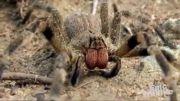 کشنده ترین عنکبوت جهان