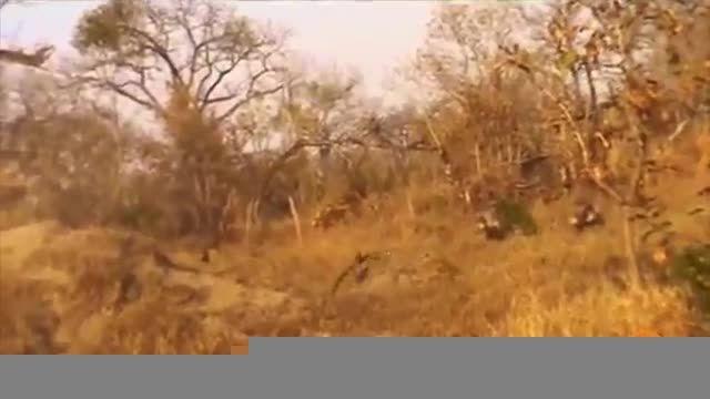 نبرد پلنگ با گراز (دیدنی) کمین جالب پلنگ