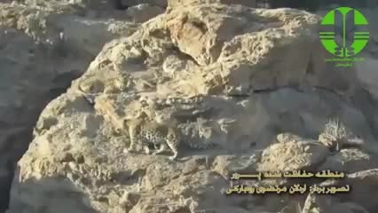 ثبت 2 قلاده پلنگ ایرانی در پرور مهدیشهر با دوربین