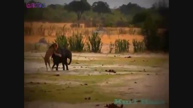 شیرهای نر فیل جوان را شکار کردند+فیلم ویدیو کلیپ