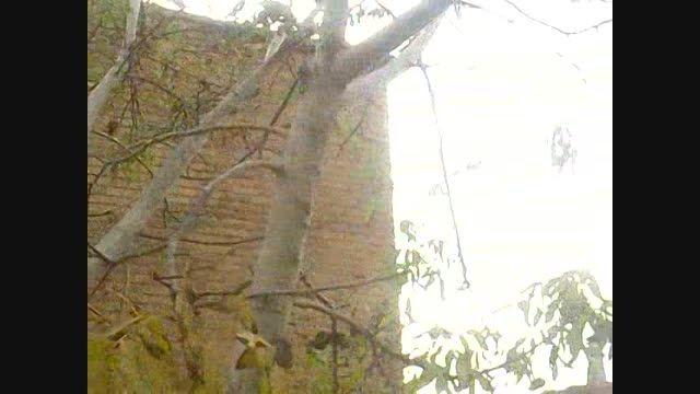 میوه دادن درخت گردو و سردرگمی ان در پاییز