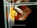 کلکسیون زیبای ماهی های بتا{فایتر}