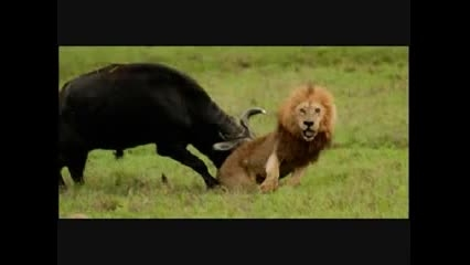 این بار شیر نر از گاو میش شکست خورد!!