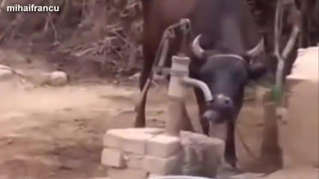 کلیپ جالب شگفت انگیزترین گاو های دنیا