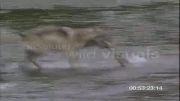شکار ماهی توسط گرگ{گرگ حرفه ای}