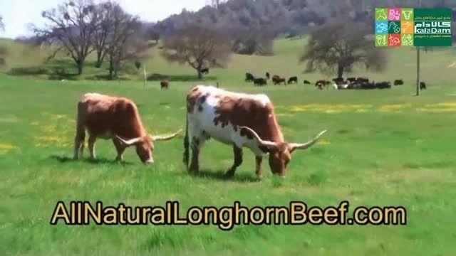 تولید موادغذایی از گوشت گاوهای پرواری در مزارع تگزاس