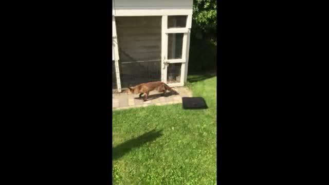 روباه نتوانست مرغی شکار کند، به صاحبخانه حمله کرد